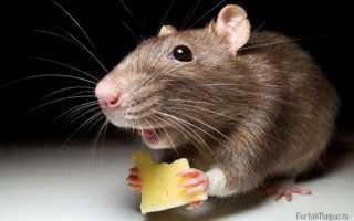К чему увидеть мышь в доме или на улице по примете