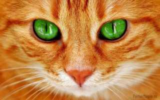 С какими приметами связаны рыжие коты и кошки