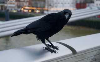 Значение примет, связанных с воронами
