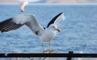 К чему увидеть чайку по примете