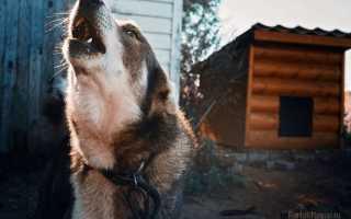 К какой примете воет собака и как нейтрализовать плохое значение