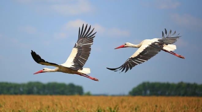 Большие белые птицы
