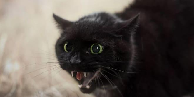 Чёрный кот шипит