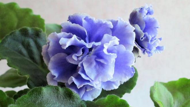 Что означает голубая фиалка в доме