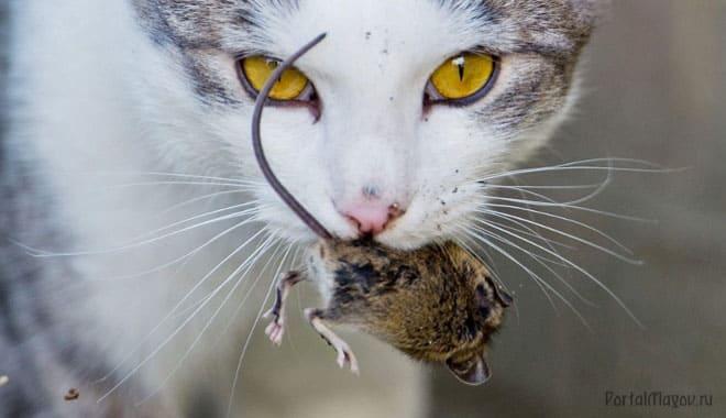 Мышь в пасти кошки