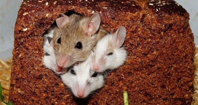 Мыши завелись в хлебе