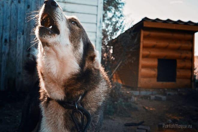 Соседская собака завыла