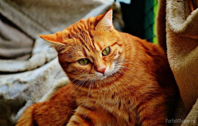 Кот с рыжим окрасом