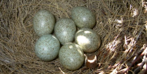 Яйца белобоки