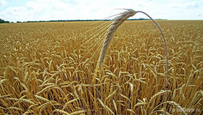 Как зреет пшеница