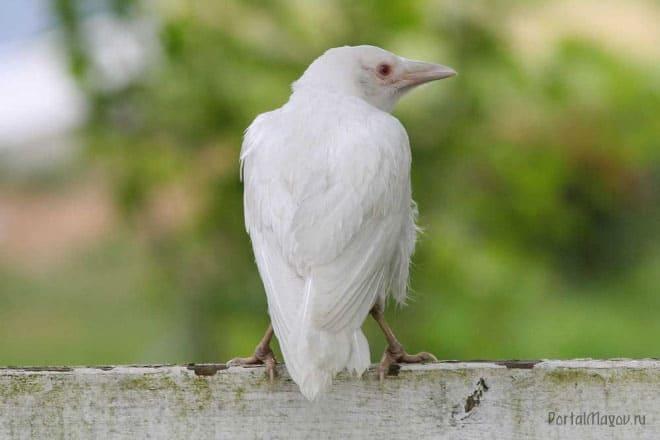 Белый ворон на заборе