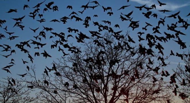 Вороны кружат над деревом