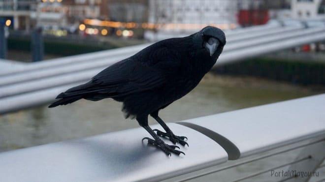 Ворон на балконе