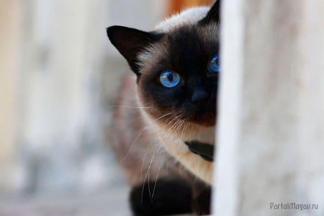 Сиамская кошка выглядывает из-за угла